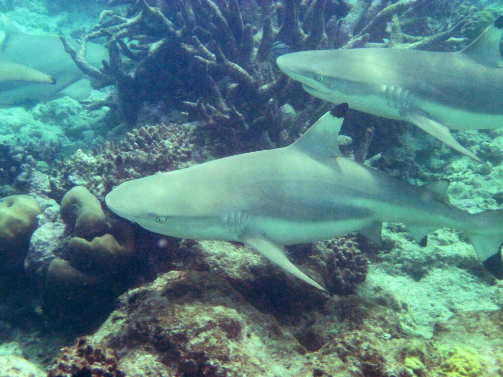 Schwarzspitzenriffhaie