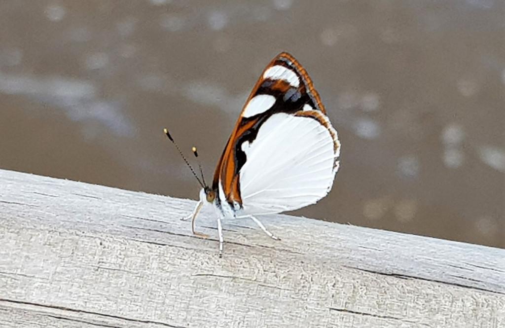 Schmetterling Iguazu