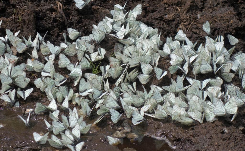 Schmetterlinge Swanetien