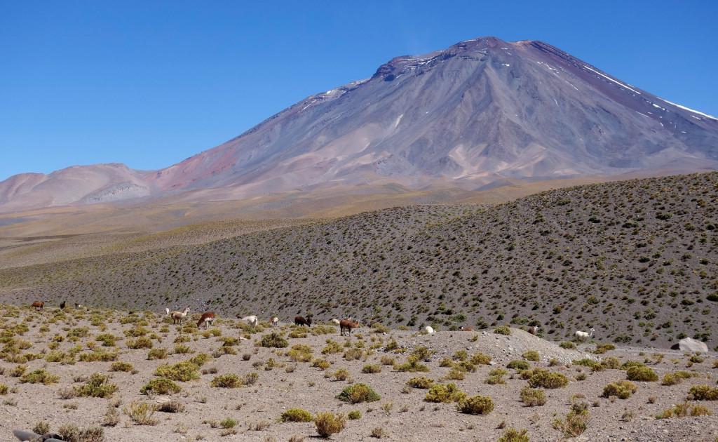 Atacama Wüste Lamas