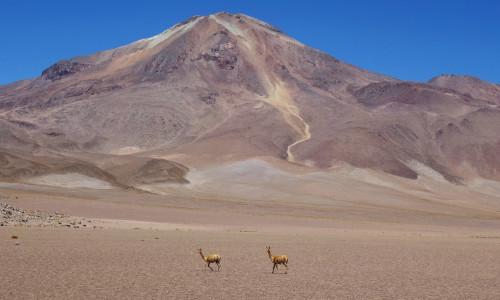 Atacama Wüste Vicunas
