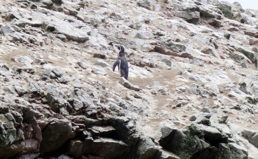 Humboldtpinguin Islas Ballestas