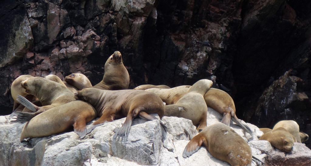 Seelöwen Islas Ballestas
