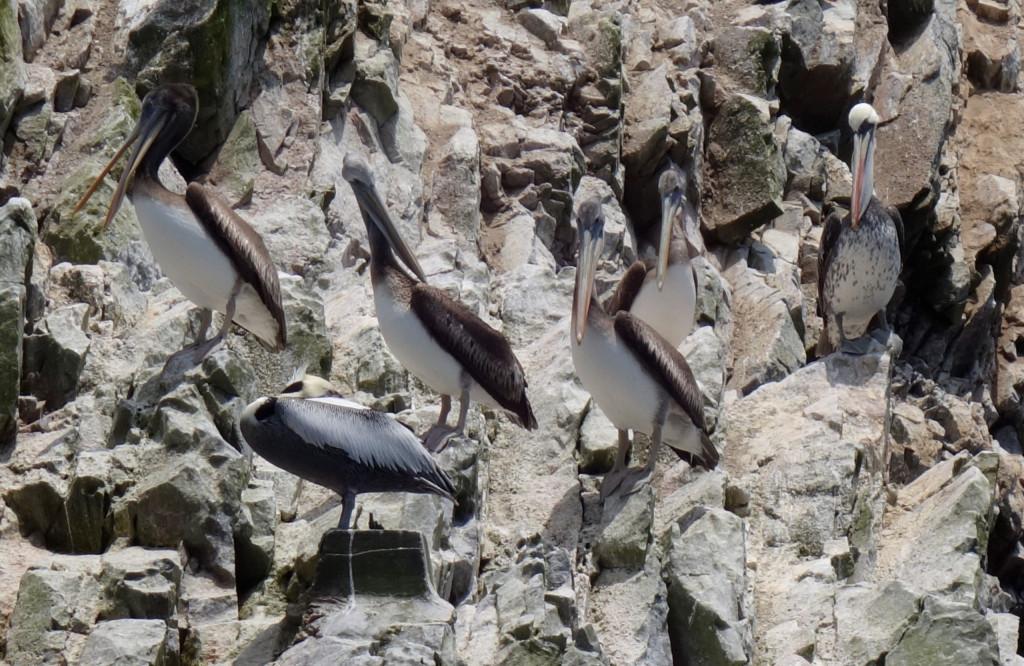 Pelikane Ballestas Inseln