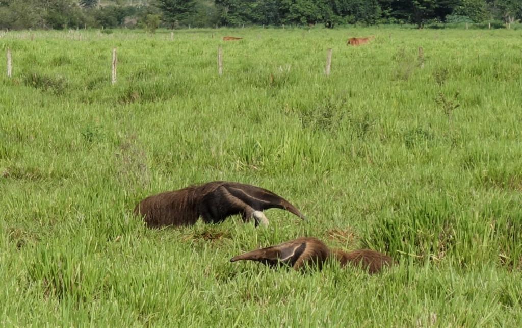 Ameisenbären Südamerika