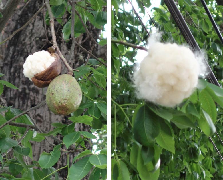 Kapokbaum Salta