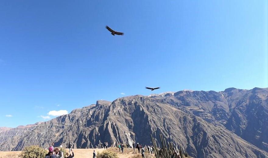 Colca Canyon Kondor