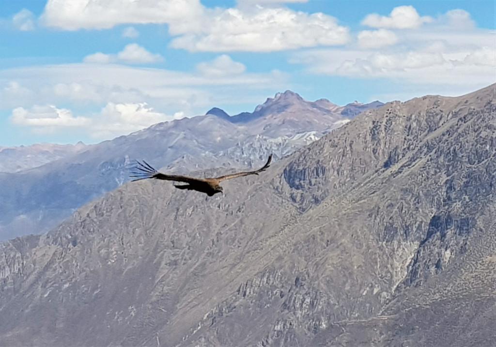 Kondor Colca Canyon Peru